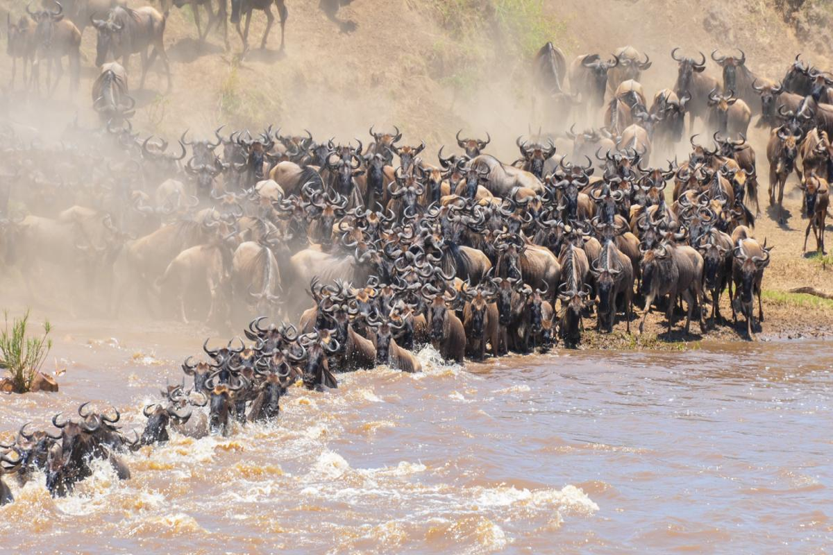 Wildebeest migration at Masai Mara